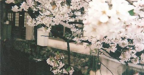 Đâm kiếm vào tim mình để giúp người yêu - câu chuyện tình buồn ẩn sau vẻ tinh khôi của hoa anh đào