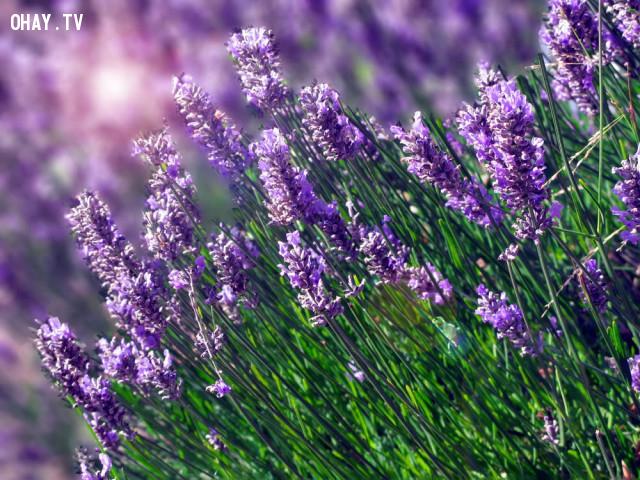 Hoa oải hương,cây trồng trong nhà,giấc ngủ,cây cảnh,cây đặt trong phòng ngủ