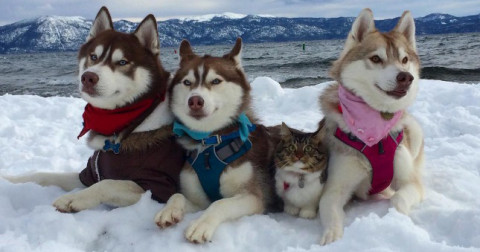 Nghĩ mình là chó Husky sau khi được cứu, chú mèo này đã có tấm ảnh triệu like