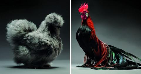 Bộ ảnh những chú gà đẹp nhất hành tinh