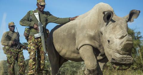 Chú tê giác trắng cuối cùng tại phương Bắc