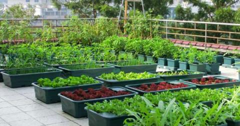 Mẹo tự trồng rau sạch tại nhà đơn giản