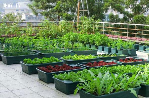 ,trồng rau sạch tại nhà