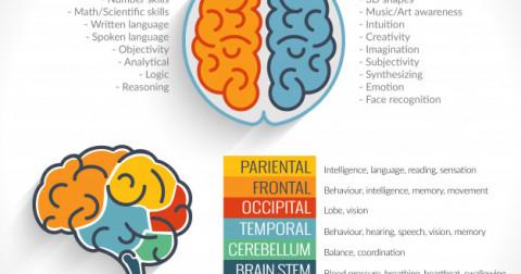 Bạn suy nghĩ bằng não trái hay não phải
