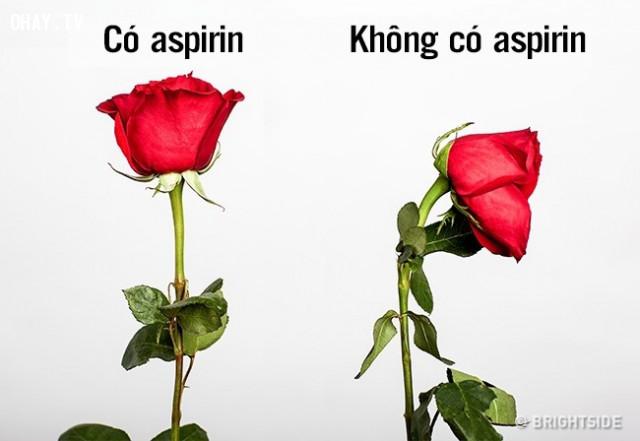 1. Hoa hồng sẽ tươi lâu hơn nếu bạn cho một nửa viên thuốc aspirin vào nước,mẹo vặt,mẹo của người xưa