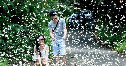 Cúc Phương mùa bướm rợp trời.
