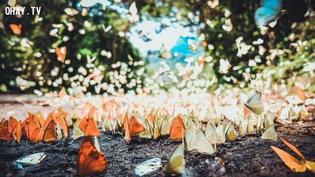 Những chú bướm hiền lành tô điểm sắc màu,rừng Cúc Phương,vườn quốc gia Cúc Phương