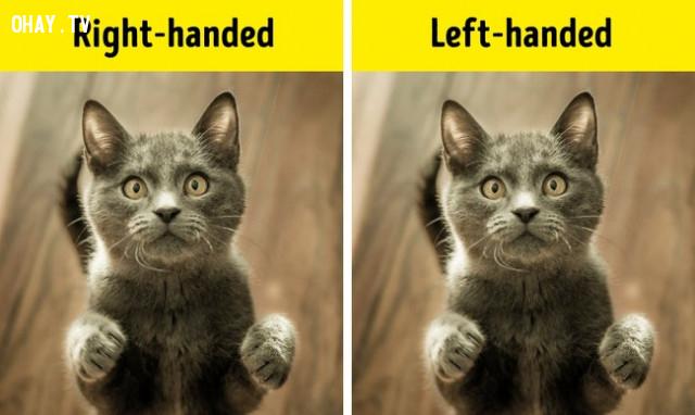 """Mèo cũng có chân """"thuận"""" như con người,Những điều thú vị trong cuộc sống"""