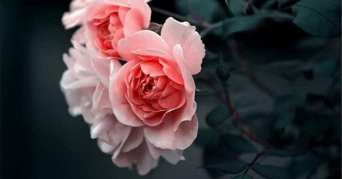 Mới trồng hồng thì nên chú ý những điều gì?