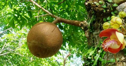 Những loài cây kỳ diệu biết 'đẻ ra quả' ngay trên thân
