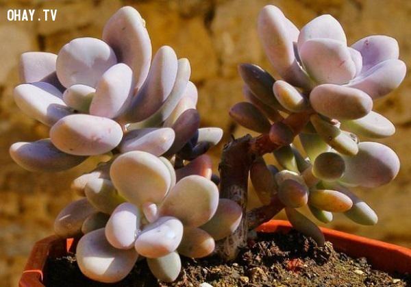 ,cây cảnh,cây lá bỏng,Lavender Pebbles