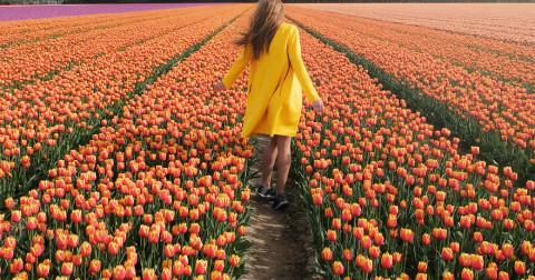 Ngắm nhìn 7 triệu đóa hoa tulip ở Hà Lan cùng nở rộ