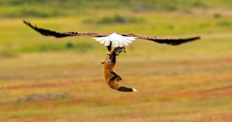 Cuộc chiến kịch liệt giành mồi giữa chim đại bàng và cáo đỏ được một nhiếp ảnh gia ghi lại