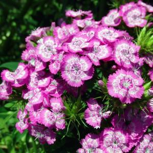 Hoa cẩm chướng tím