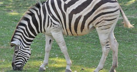 Tại sao chúng ta có thể cưỡi trên lưng ngựa, lưng lừa nhưng không thể cưỡi lên lưng ngựa vằn?