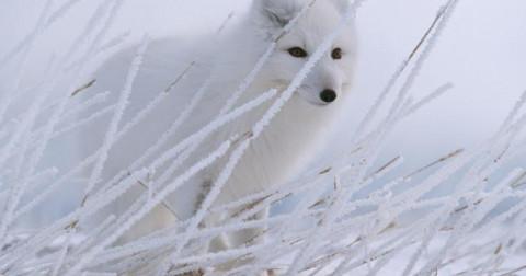 Bạn biết gì về cáo tuyết?