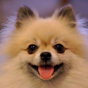 7. Pomeranian