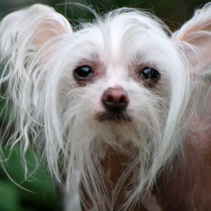 6. Chinese Crested