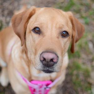 2. Labrador Retriever