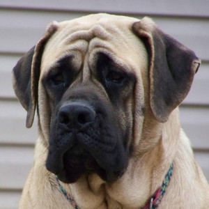 15. Mastiff