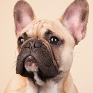 21. French Bulldog