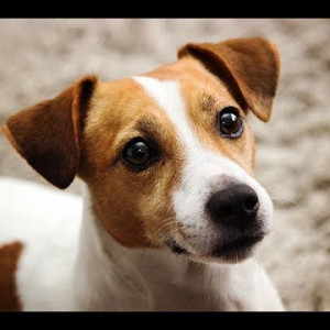 19. Jack Russell Terrier