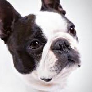 24. Boston Terrier