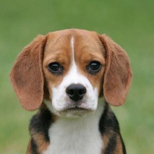 27. Beagle