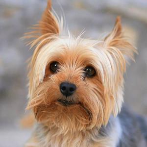 14. Yorkshire Terrier