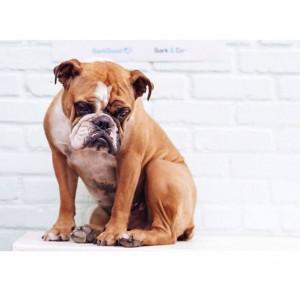 13. English Bulldog