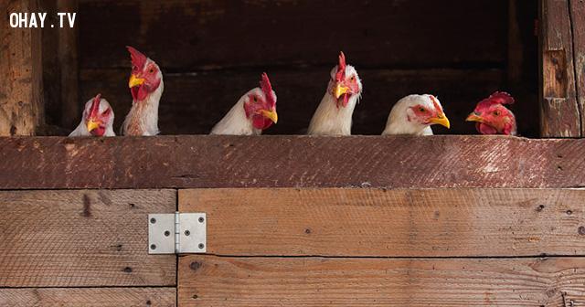 Khi loài gà bá chủ thế giới, loài người hãy coi chừng :v